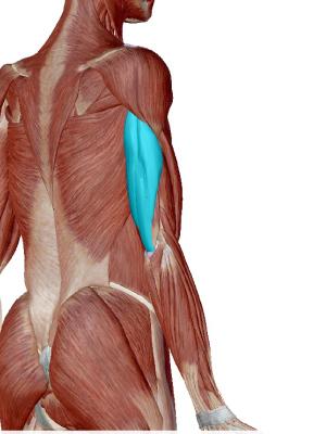 上腕三頭筋とは上腕の裏側にある筋肉であり、上腕三頭筋を表す画像。