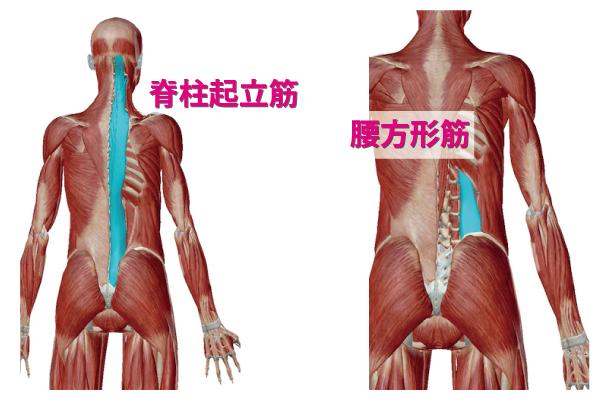 腰回りの筋肉である脊柱起立筋と腰方形筋の画像