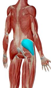 中臀筋のデータ 股関節を安定させる筋肉