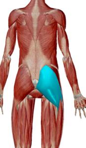 大臀筋のデータ|背骨の土台となる筋肉