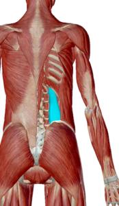 腰方形筋のデータ|骨盤と背骨を安定させる筋肉