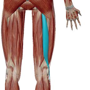 大腿二頭筋のデータ|内股の女性が硬くなりやすいハムストリング