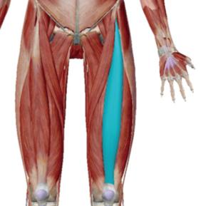 大腿直筋のデータ|反り腰や腰痛に関係の深い筋肉
