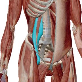 大腰筋のデータ 腸腰筋を構成する筋肉