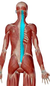 脊柱起立筋のデータ 姿勢を保持するための筋肉