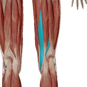 半膜様筋のデータ|内側のハムストリング