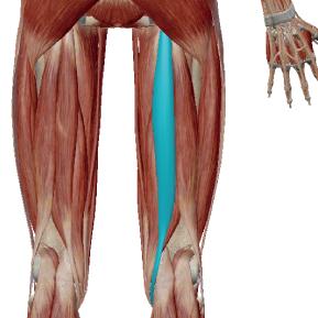 半腱様筋のデータ|内側のハムストリング