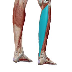 ヒラメ筋のデータ 足首のクッションとなる筋肉