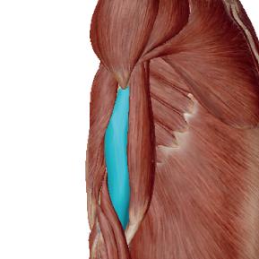 上腕筋のデータ|肘を曲げるときに必ず使う筋肉