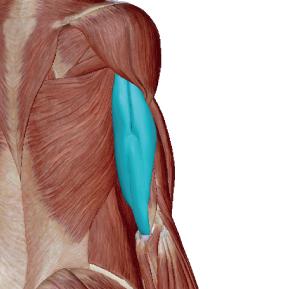 上腕三頭筋のデータ|押す動作に必要な筋肉
