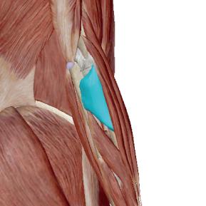 回外筋のデータ|肘から先を外に回す筋肉