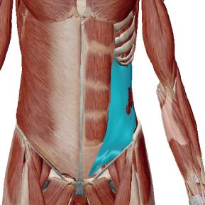 内腹斜筋のデータ|胴体をひねる筋肉