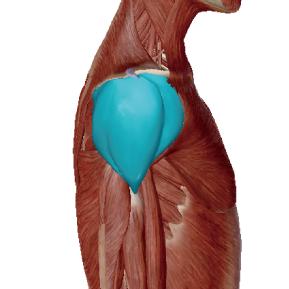 三角筋のデータ|物を持ち上げる時の肩関節の筋肉