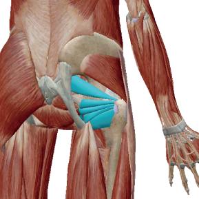 深層外旋六筋のデータ|股関節を外旋させる筋群