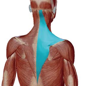 僧帽筋のデータ|いわゆる肩こりの筋肉