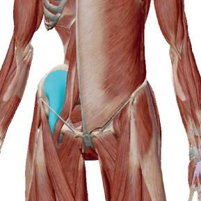 腸骨筋のデータ|腸腰筋を構成する筋肉