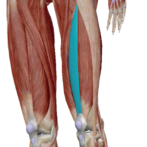 中間広筋のデータ|膝を伸ばす筋肉