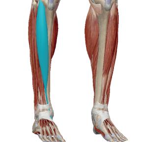 前脛骨筋のデータ|足裏が外側の荷重で歩いている人と張りやすい筋肉