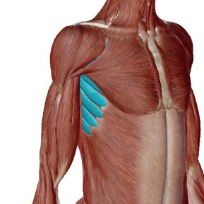 前鋸筋のデータ|肩甲骨を前方に動かす筋肉