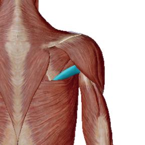 大円筋のデータ|肩甲骨と腕の骨をつなぐ筋肉