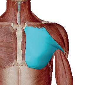 大胸筋のデータ|腕立て伏せなど、前に押す力の筋肉