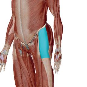 大腿筋膜張筋のデータ|内股気味な人が緊張しやすい筋肉
