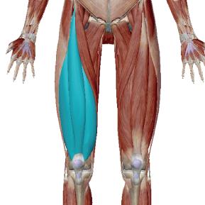 大腿四頭筋のデータ|太ももの前側の筋肉の総称