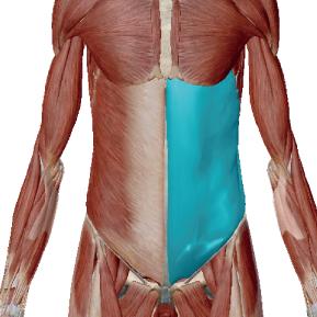 外腹斜筋のデータ|お腹をひねる筋肉