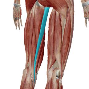 薄筋のデータ|開脚の時に伸びる筋肉