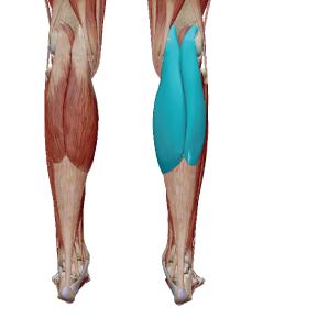 腓腹筋のデータ|膝関節と足首に関わる筋肉