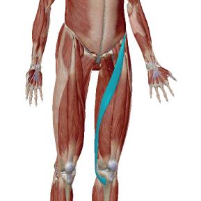 縫工筋のデータ 足を組むような動作で働く筋肉