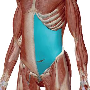 腹横筋のデータ|コルセットのような力の筋肉