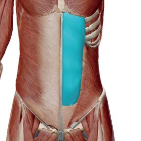 腹直筋のデータ|いわゆる「腹筋」と呼ばれる筋肉