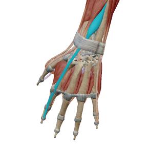 示指伸筋のデータ|人差し指を伸ばす筋肉
