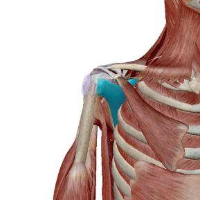 肩甲下筋のデータ|肩関節を安定させる筋肉