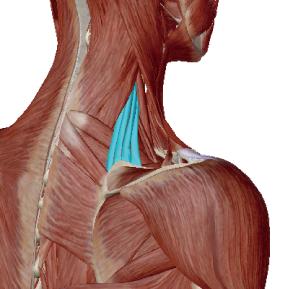 肩甲挙筋のデータ|肩甲骨を上にあげる筋肉