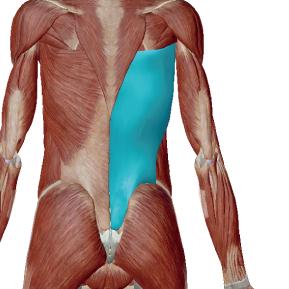 広背筋のデータ|背中のメインとなる引く力の筋肉