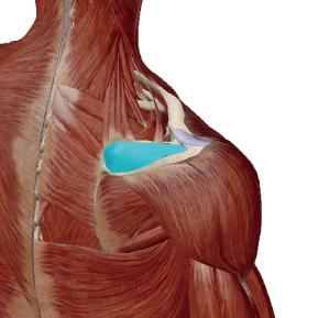 棘上筋のデータ|肩の痛みの原因となりやすい筋肉