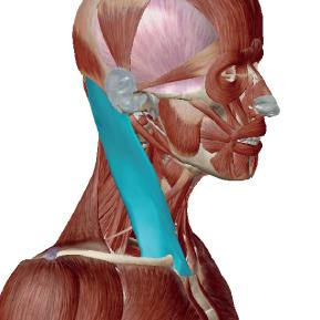 胸鎖乳突筋のデータ|首を操作する筋肉