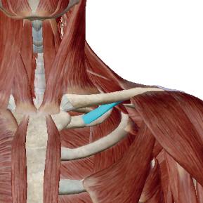 鎖骨下筋のデータ|鎖骨を下に下げる筋肉