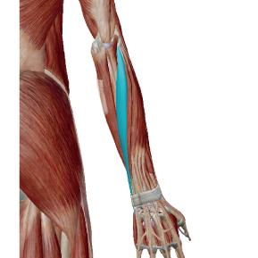 尺側手根伸筋のデータ|手首を反らせる力の筋肉