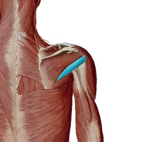 小円筋のデータ 肩の関節を安定させる筋肉