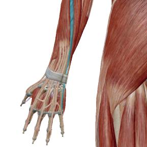 小指伸筋のデータ|小指を伸ばす筋肉