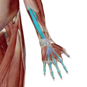 深指屈筋のデータ|手首を屈曲させる筋肉