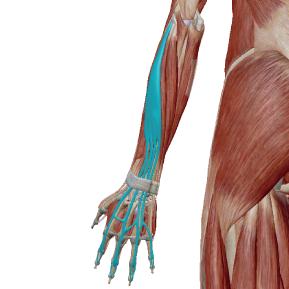 指伸筋のデータ|4本の指を伸ばす筋肉