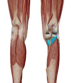 膝窩筋のデータ|内側ハムストリングの補助として働く筋肉