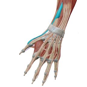 短母指伸筋のデータ|手の親指の筋肉