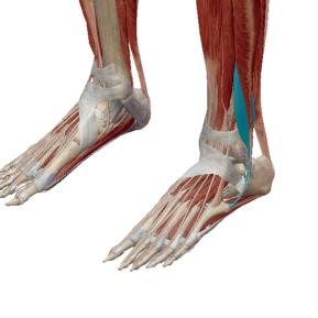 短腓骨筋のデータ|足裏のアーチにも関与する筋肉