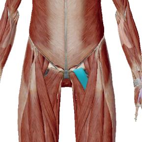 恥骨筋のデータ 骨盤の前傾に関与する筋肉