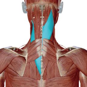 板状筋のデータ 首と頭を支える筋肉